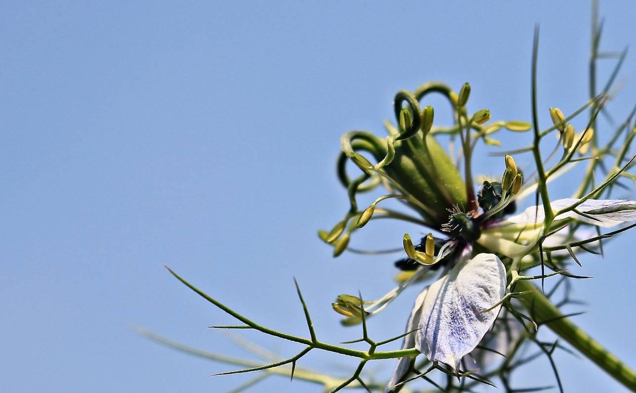 Planta de alcaravea negra